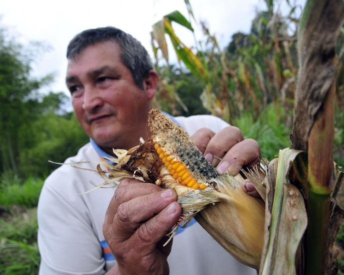 Colombian maize farmer stands in field with damaged crop